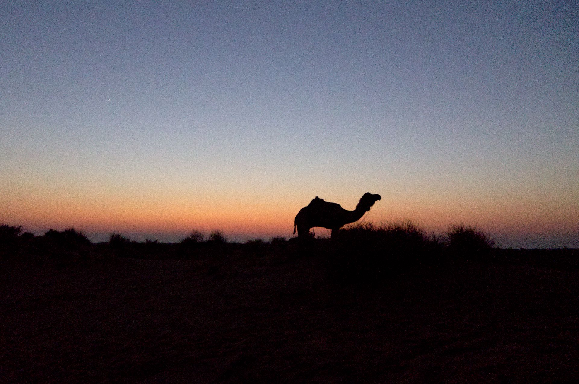 Camellos en Jaisalmer